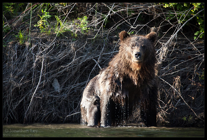 A Wet Grizzly