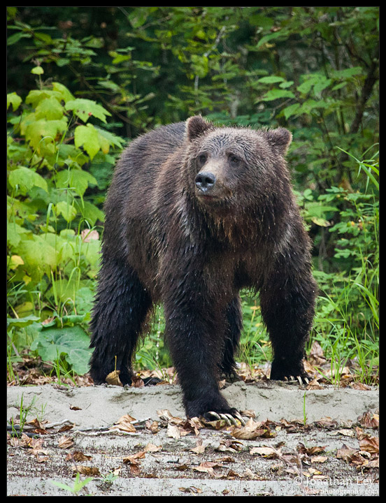 A Grizzly in the Bella Coola Valley