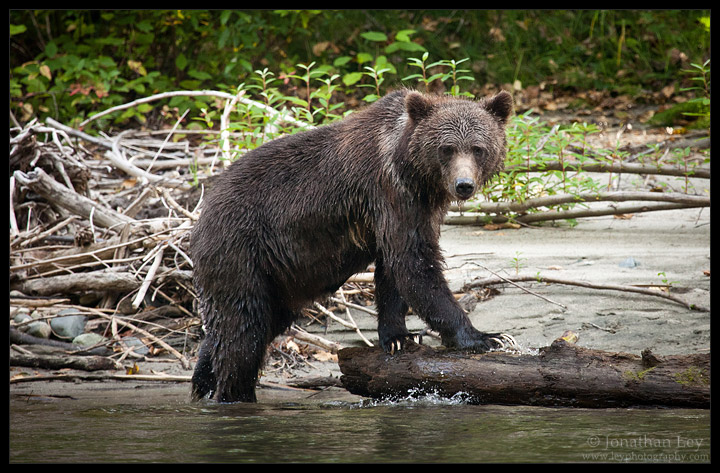 Grizzly on a Log