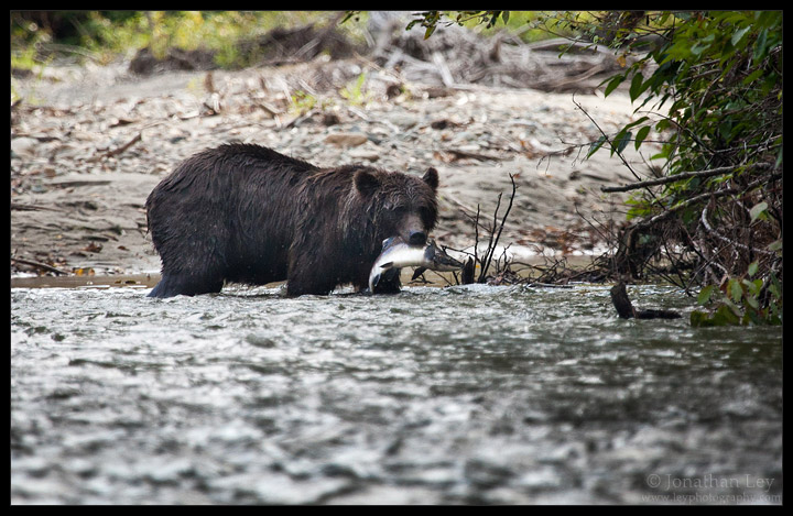 Grizzly Bear Grabs a Salmon