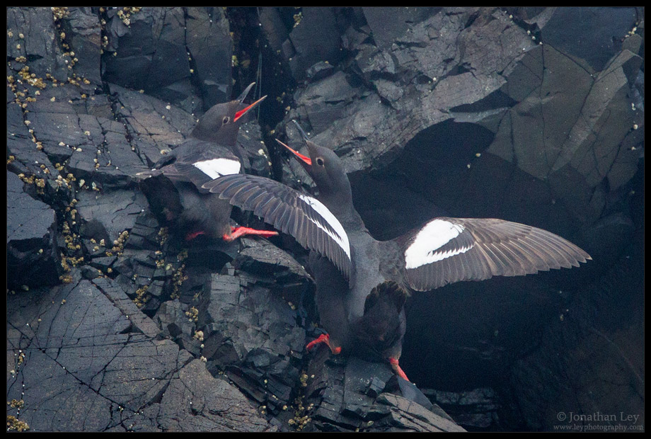 Pigeon Gullimot