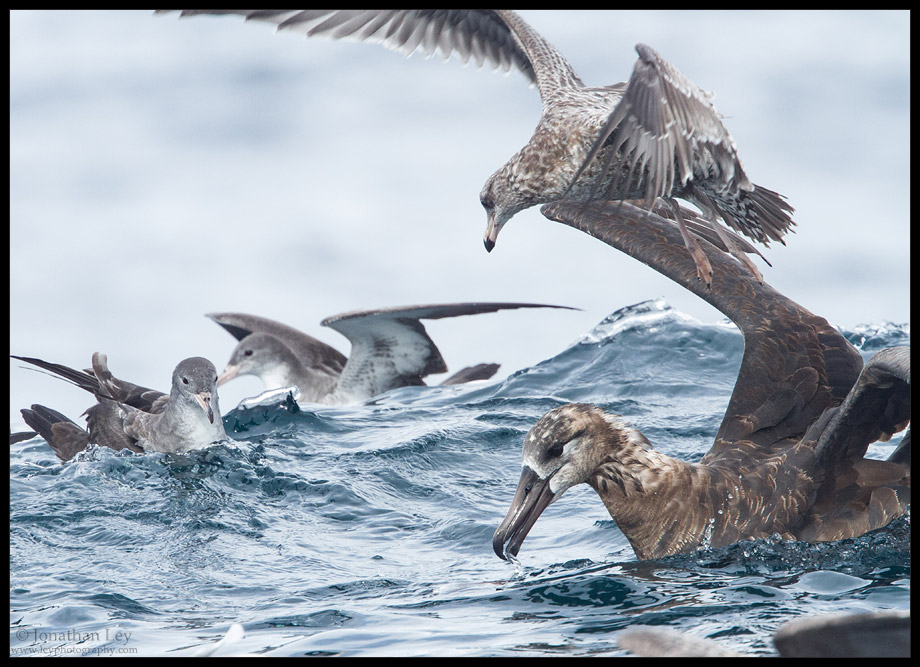Black-footed Albatross and friends