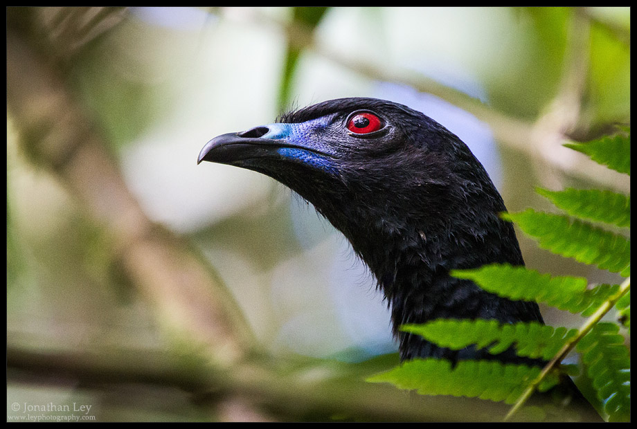 Black Guan