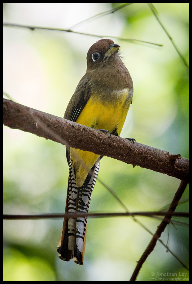 Black-throated Trogon - Female