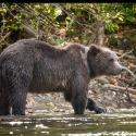 Grizzly on the River